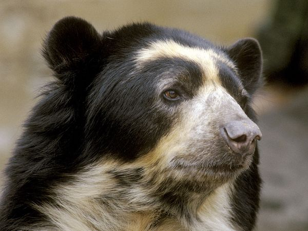 spectacled bear is endangered by mine
