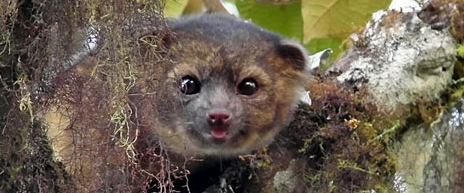 Olinguito new species cloud forest