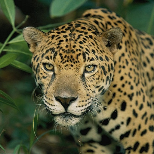 Endangered animal jaguar